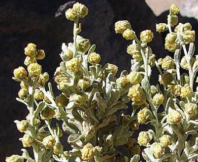 Pseudognaphalium cheiranthifolium