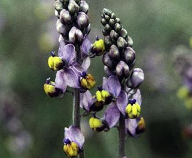 Pteromonnina pterocarpa