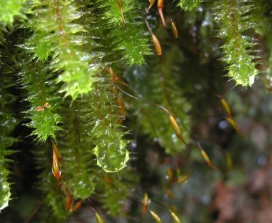 Ptychomnion cygnisetum