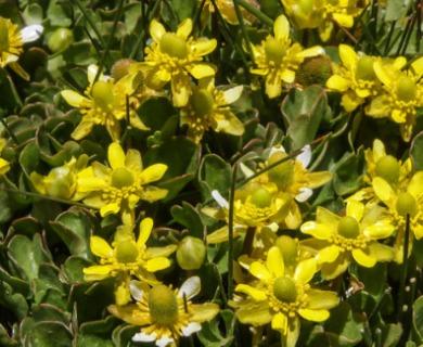 Ranunculus spegazzinii