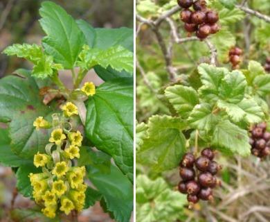 Ribes punctatum