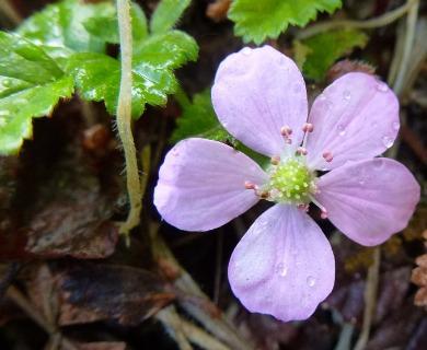 Rubus radicans