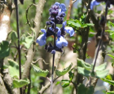 Salvia paposana