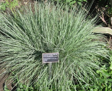 Schizachyrium spicatum