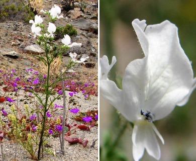 Schizanthus candidus