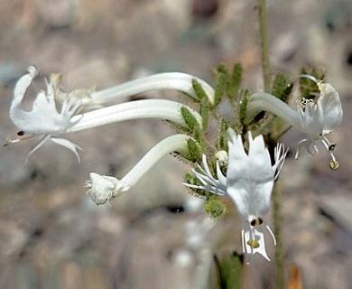 Schizanthus integrifolius
