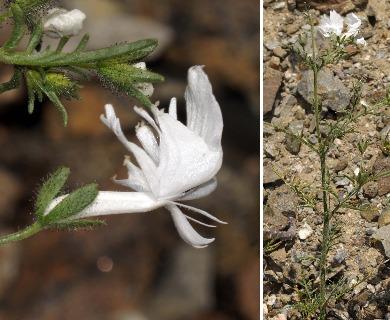 Schizanthus lacteus