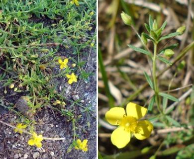 Scoparia montevidensis