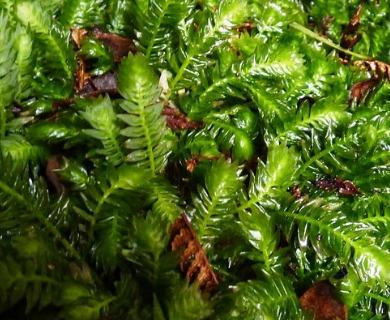 Serpyllopsis caespitosa