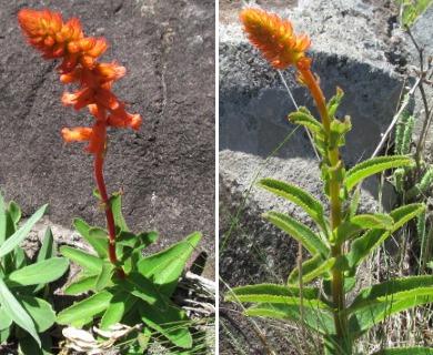 Sinningia allagophylla
