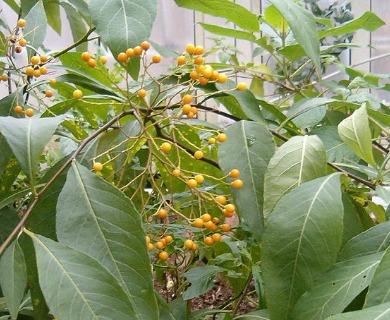 Solanum argentinum