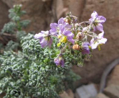 Solanum brachyantherum