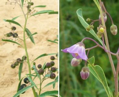Solanum glaucophyllum