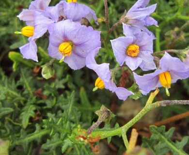 Solanum heterantherum