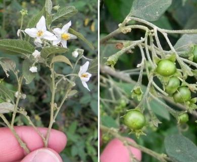 Solanum ramulosum