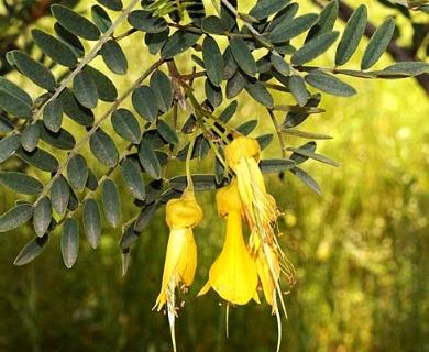 Sophora macrocarpa