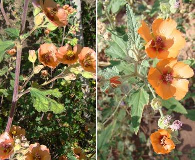 Sphaeralcea bonariensis