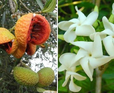 Tabernaemontana catharinensis