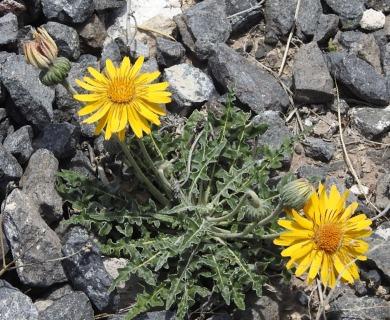 Trichocline sinuata