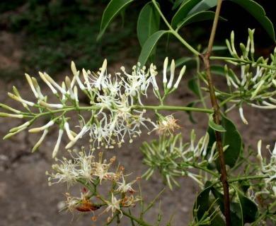 Tripodanthus acutifolius