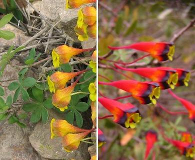 Tropaeolum tricolor