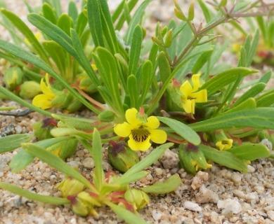Viola polypoda