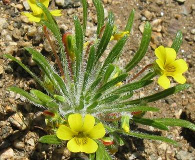 Viola pusilla
