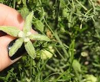 Abobra tenuifolia