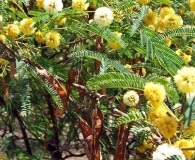 Acacia visco