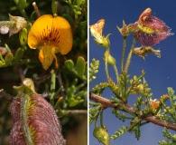 Adesmia microphylla