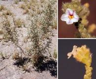 Aloysia deserticola
