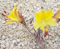 Alstroemeria kingii