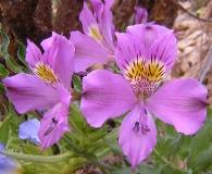 Alstroemeria violacea