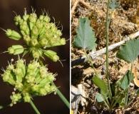 Asteriscium chilense