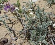 Astragalus amatus