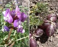 Astragalus cruckshanksii