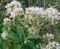 Austroeupatorium inulifolium