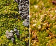 Azorella lycopodioides