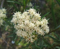 Baccharis paniculata