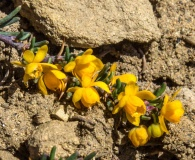 Berberis empetrifolia