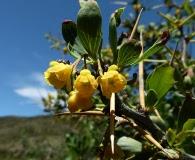 Berberis grevilleana