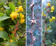 Berberis horrida