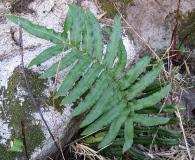 Blechnum cordatum