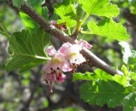 Bridgesia incisifolia