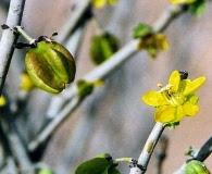 Bulnesia chilensis