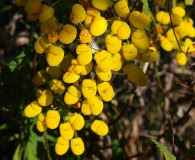Calceolaria angustifolia