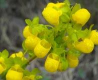 Calceolaria collina