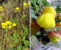 Calceolaria glandulosa