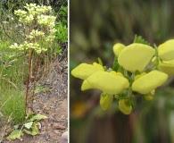 Calceolaria nudicaulis