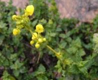 Calceolaria paposana